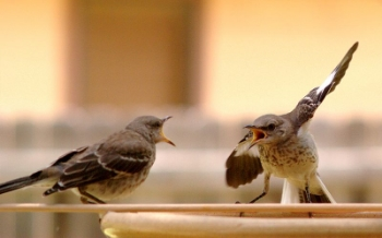 The world seems angry. These Mockingbirds were arguing in Austin, apparently while the legislature was in session. Photo Credit: By Chiltepinster via  Wikimedia Commons