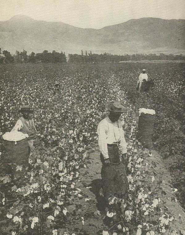 Bob Wills worked cotton fields like this one for a big portion of his youth.